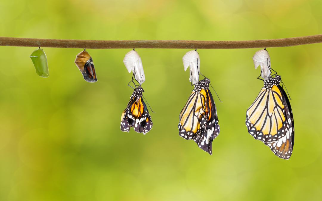 A butterfly transformation depicting the various stages of transformation